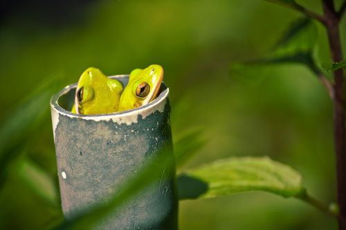 frogs tree frogs pipe