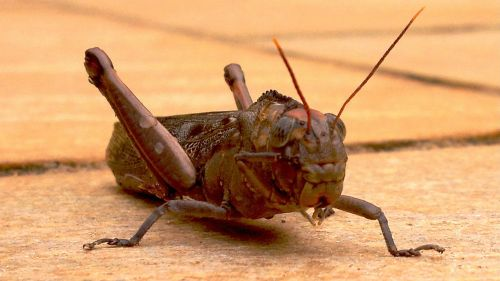 front cricket insects