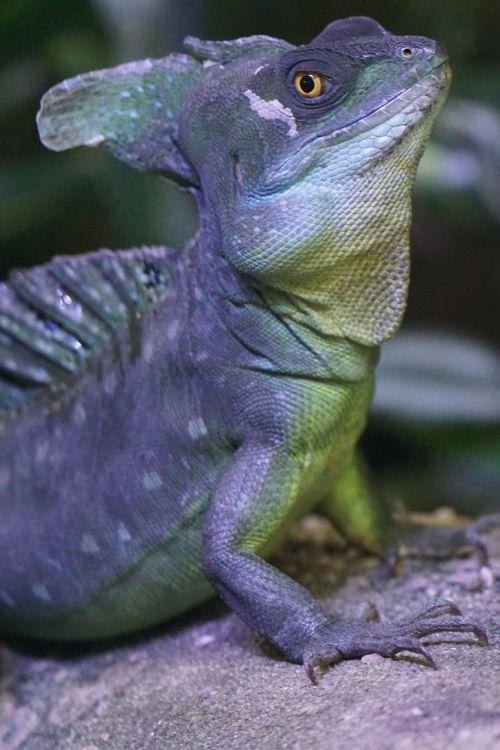 frontal lobe basilisk iguana schuppenkriechtier
