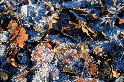 frost leaves winter