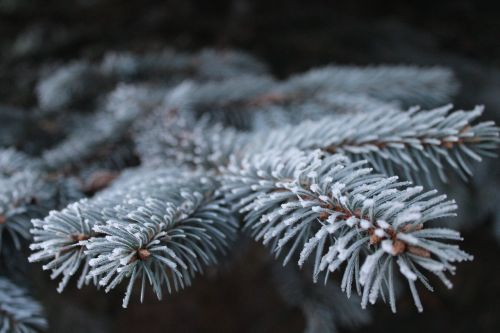 frost,branch,pine,spruce,iglak,tree,needles,nature,twigs,plant,christmas tree,coniferous,forest,green,sprig,pine cone,conifer,peace of mind,macro,closeup,happy holidays,autumn,ornament,pine needles,christmas,landscape,the details of the,plants,christmas headdress