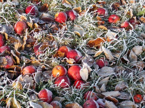 frost winter apple