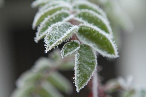 frost leaves frozen