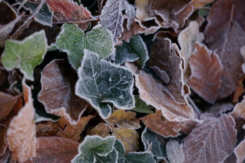 frost defoliation dead leaves