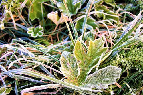 frost morning frozen leaf