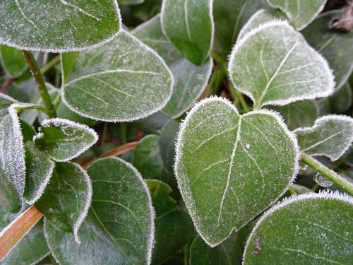frost leaf cold