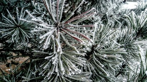 frost christmas tree winter