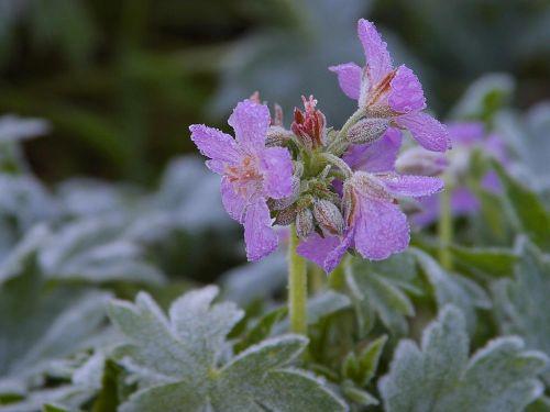 šaltis,gėlė,gamta,flora,gražus,spalva,žydėti,žiedas,žydėti,augalas,gėlės,violetinė