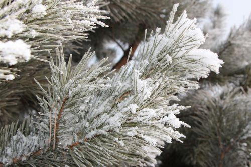 frost spruce hard rime
