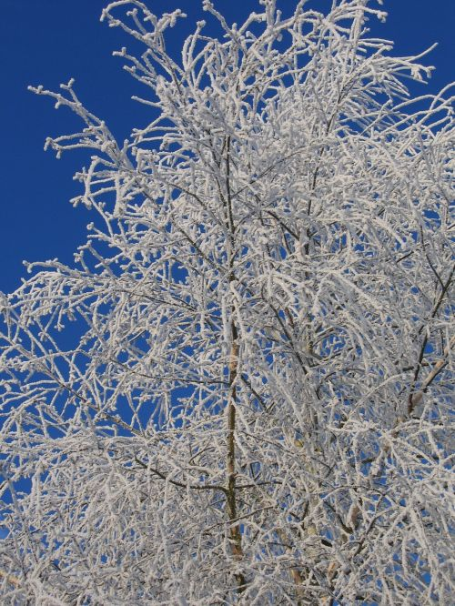 frost birch ripe