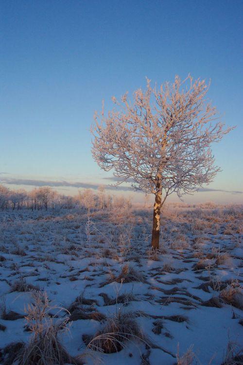 Frosty Landscape Tree