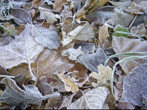 frosty leaves brown nature