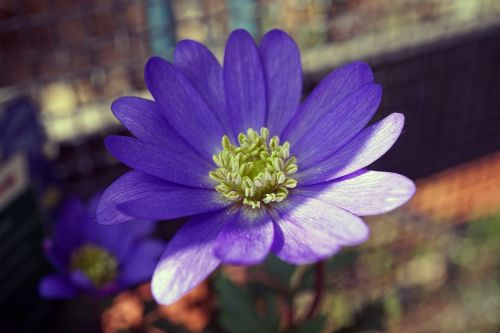 frühlingsanemone anemone blanda frühlingsblüher