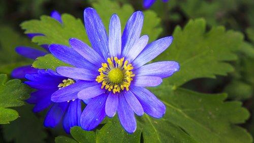 frühlingsanemone  spring  violet