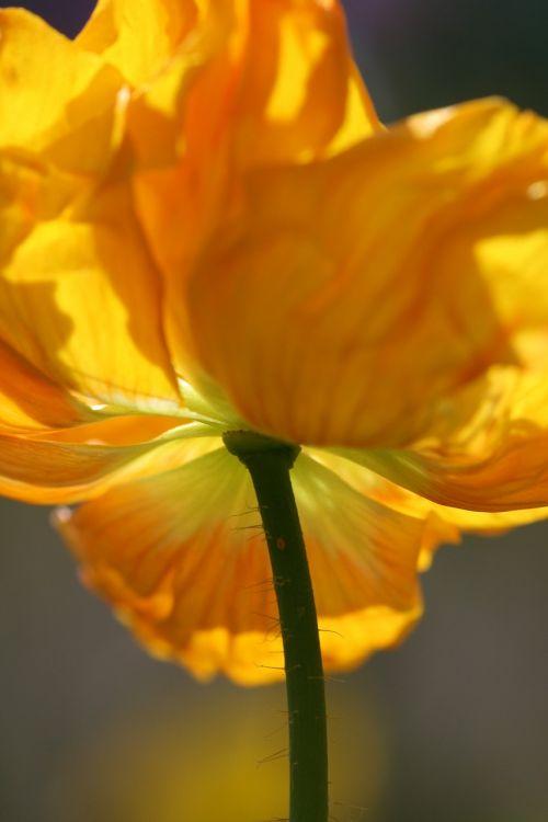 frühlingsanfang poppy blossom