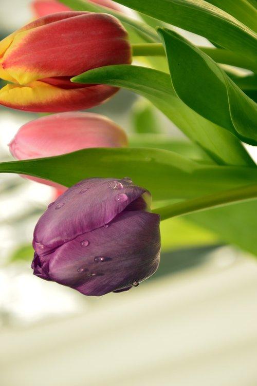 frühlingsblüher  tulips  flowers
