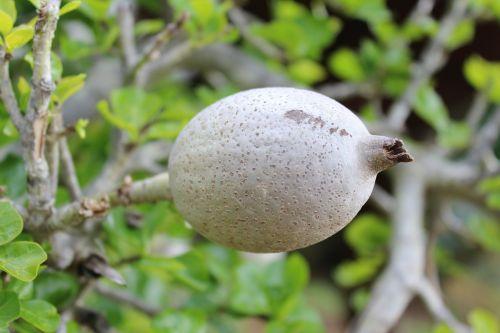 gardenia fruit gardenia plant