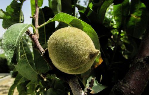 apricot fruit unripe