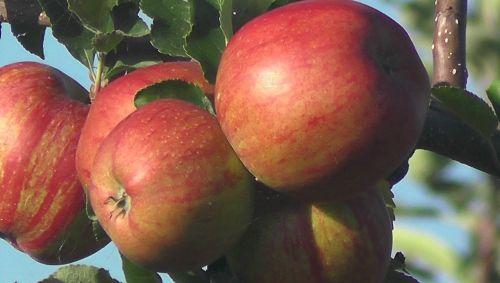 fruit apple vitamins