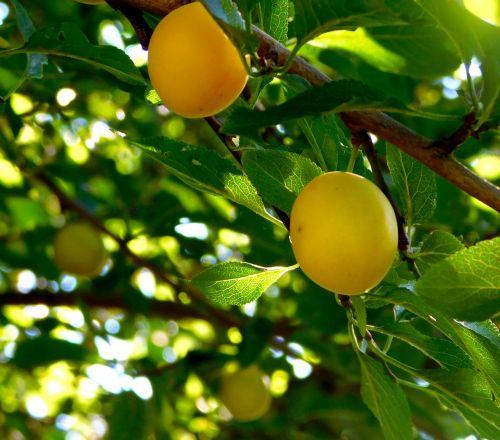 fruit fruits yellow plums