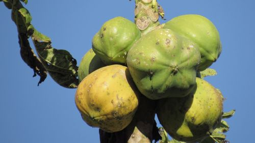 fruit papaya nature