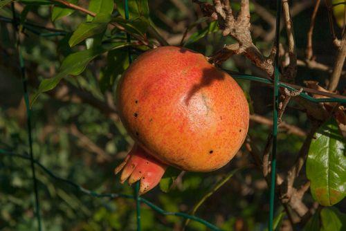 fruit grenade exotic fruit