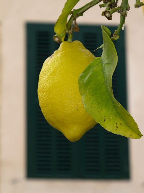 vaisiai,medis,citrina