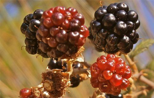 fruit mora zarza