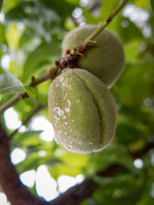 fruit rain drops tree