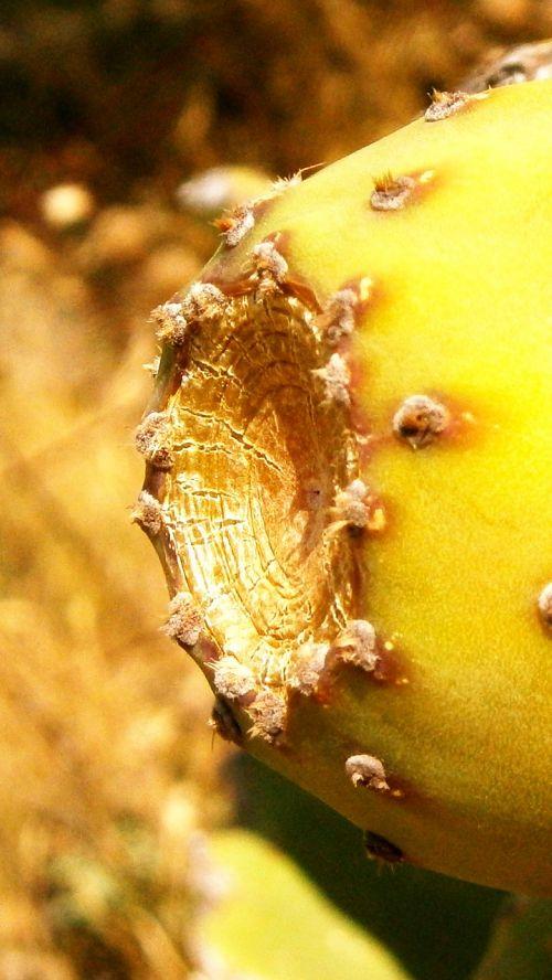 vaisiai,kaktusas,dygliuotas kriaušių kaktusas,daržovių,gamta