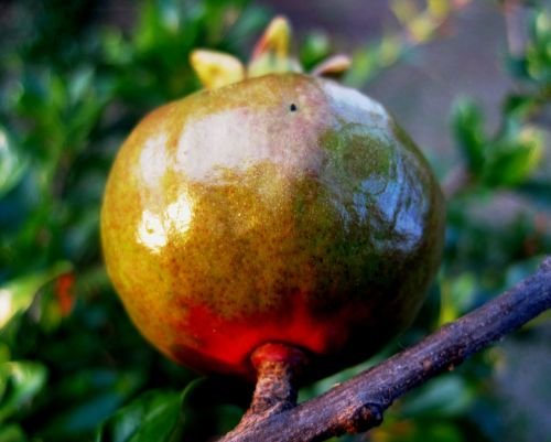 fruit pomegranate red