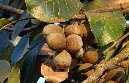 fruit nut dried