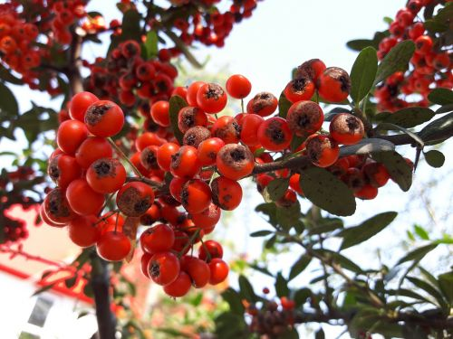 fruit hawthorn fruits