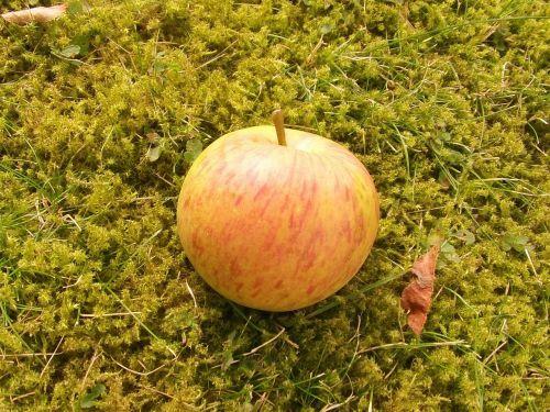 fruit apple boskop