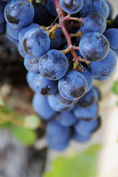 fruit blue grape