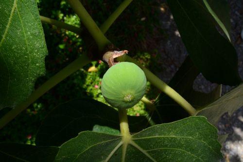 fruit green figs