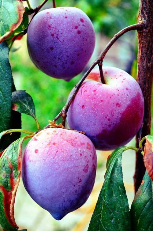 fruit plums salento