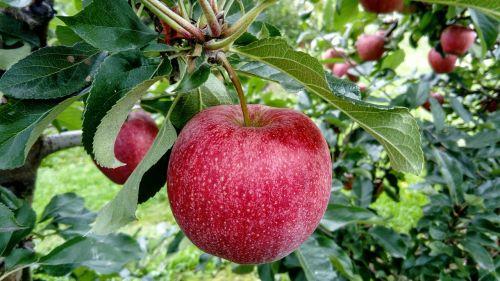 fruit apple fruit growing