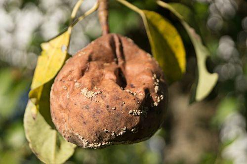 fruit pear rotten