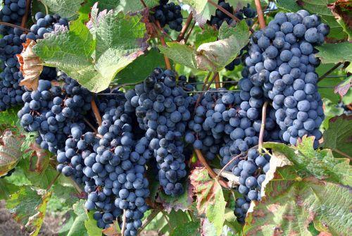 fruit grape climber