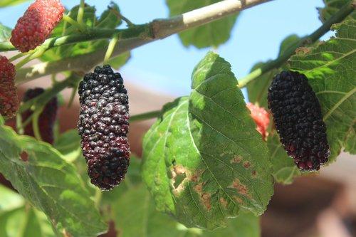 fruit  food  leaves