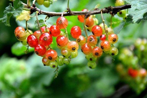 fruit  berries  currants