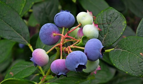 fruit  bilberry american  blue fruit