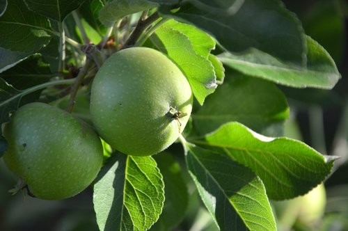 fruit  apple  green