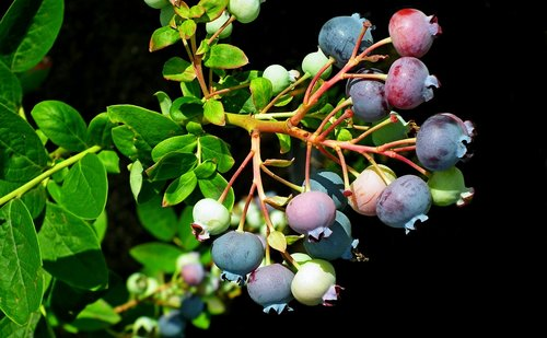 fruit  bilberry american  nature