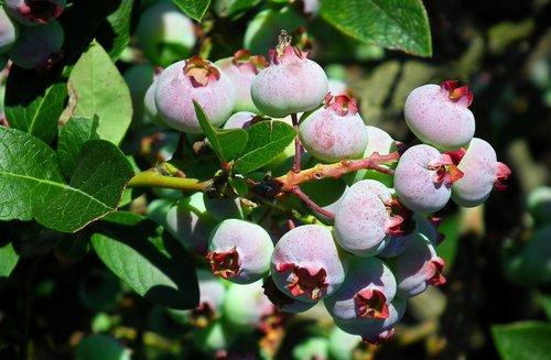 fruit  bilberry american  bush