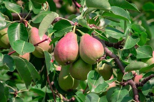 fruit  tree  pear