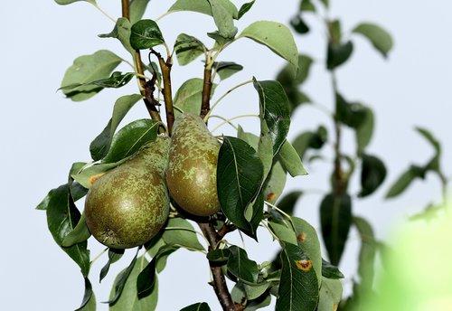 fruit  deciduous  pears
