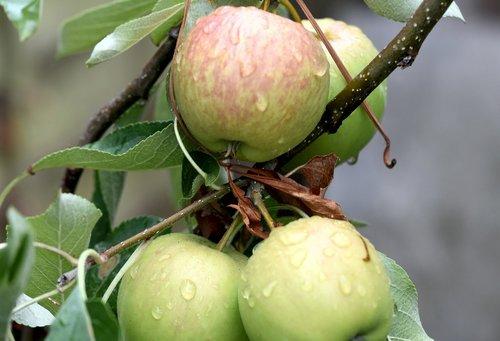 fruit  apples  ripening