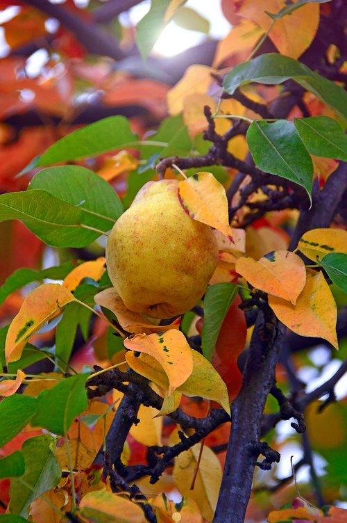 fruit  pear  yellow pear